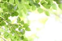 Fresh green linden Stock photo [4538100] Verdure
