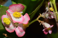 Pink Begonia grandis Stock photo [4608915] Begonia