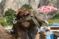 Camel of Pajaba Stock photo [4730505] Cappadocia
