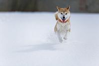 Winter of Shiba Inu Stock photo [4737804] dog