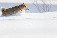 Winter of Shiba Inu Stock photo [4737806] dog