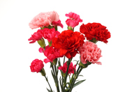Carnation flowers background white Stock photo [4738277] Carnation