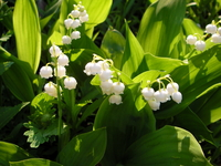 Lily of the valley Stock photo [158266] Lily