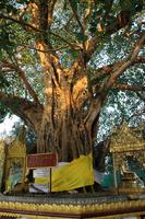 ミャンマーのシュエダゴン・パゴダの菩提樹