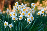 narcissus Stock photo [4930568] Nihon
