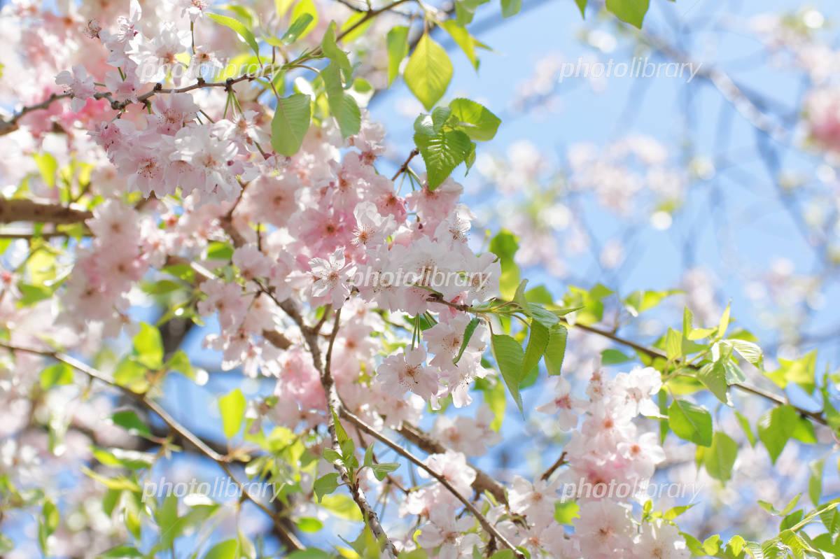 葉桜 写真素材 [ 5027456 ] - フォトライブラリー photolibrary