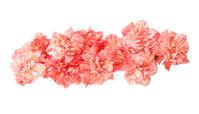 写真 Carnation(5115150)