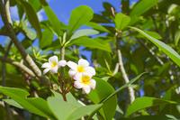 写真 Plumeria(5115702)