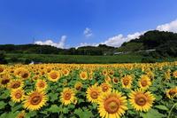 写真 Sunflower field Gojo City Ueno Park(5116013)