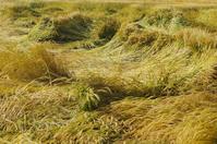 写真 Wheat collapsed with strong wind(5116080)