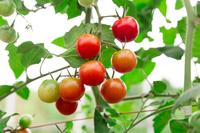 写真 Mini Tomato(5204043)