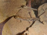 写真 Larva of Hida salamander(5204065)