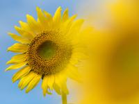 写真 Sunflower and blue sky background(5204125)