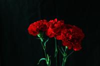 写真 Carnation(5204266)