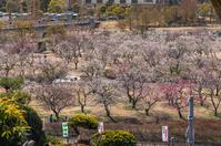 写真 Plum forest at Mito Kairakuen(5204533)