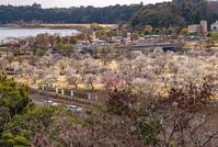 写真 Plum forest at Mito Kairakuen(5204535)