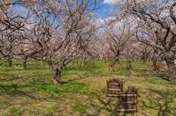 写真 Plum forest at Mito Kairakuen(5204551)