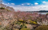 写真 Plum forest at Mito Kairakuen(5204557)