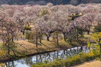 写真 Plum forest at Mito Kairakuen(5204568)
