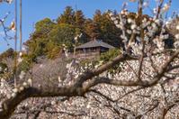 写真 Watermelte and plum forest of Mito Kairakuen(5204578)