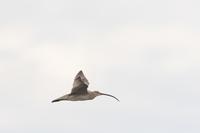 写真 White-cedar flying (roaring)(5204625)