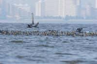 写真 A swarm of swimming cormorants (Kwanagi)(5204823)