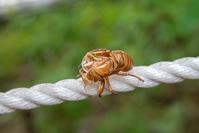 Cicadian shell  Photo