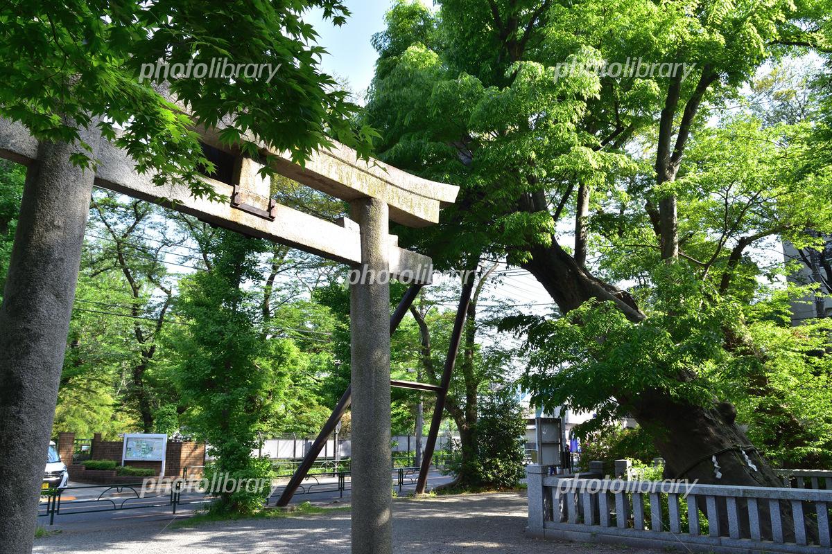 調布・青渭神社の鳥居と大ケヤキ...