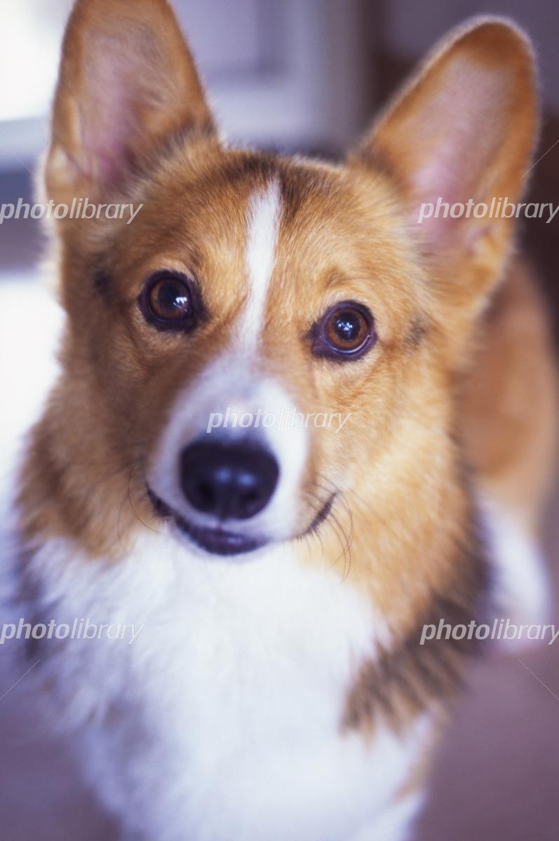 ウェルシュコーギー 写真素材 593 フォトライブラリー Photolibrary