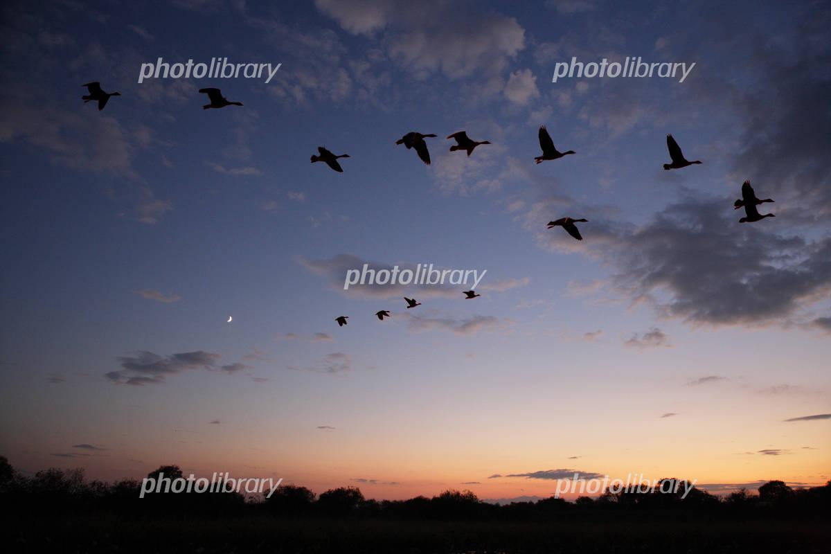 雁の画像 p1_3