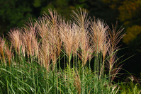 Japanese pampas grass Stock photo [315233] Japanese