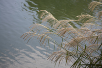 Pampas grass that grew around the pond Stock photo [315263] Japanese