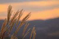 Sunset and Japanese pampas grass Stock photo [316754] Japanese
