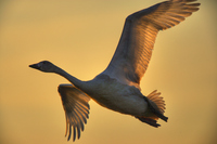 Swan in the sky of the morning glow Stock photo [318118] Niigata