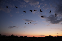 Flock of wild geese that fly the twilight sky Stock photo [318130] Miyagi