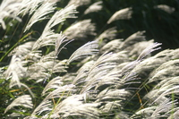 Japanese pampas grass plateau Stock photo [320672] Japanese