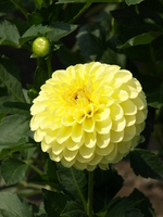 Yellow dahlia Stock photo [320971] Flower