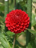 Red dahlia Stock photo [322122] Flower