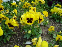 Yellow Pansy Stock photo [322635] Flower