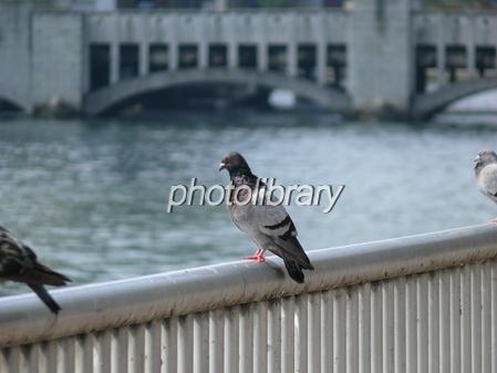 橋の上の鳩