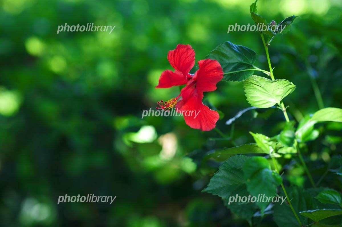 Hibiscus among the green Photo