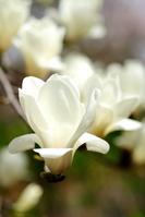 Magnolia Stock photo [362619] Magnolia