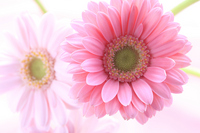 Gerbera Stock photo [363248] Gerbera