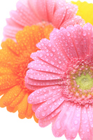 Gerbera water droplets Stock photo [363294] Gerbera