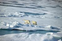 Arctic Polar Bear Stock photo [365284] Arctic