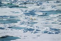 Arctic Polar Bear Stock photo [365289] Arctic