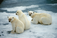 Arctic Polar Bear Stock photo [365292] Arctic