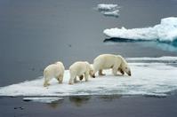 Arctic Polar Bear Stock photo [365296] Arctic