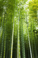 Bamboo forest Stock photo [366381] Plant