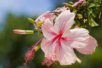 Hibiscus Stock photo [373024] Hibiscus